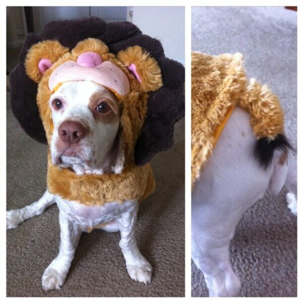 A dog dressed up in a lion costume