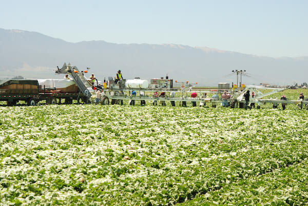 Machines in harvesting lettuce in a field