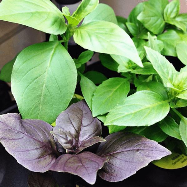 Basil growing in Aerogarden ULTRA