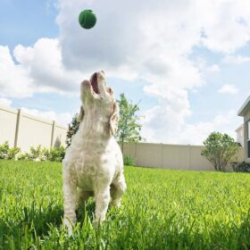 White and Tan dog playing fetch in a backyard