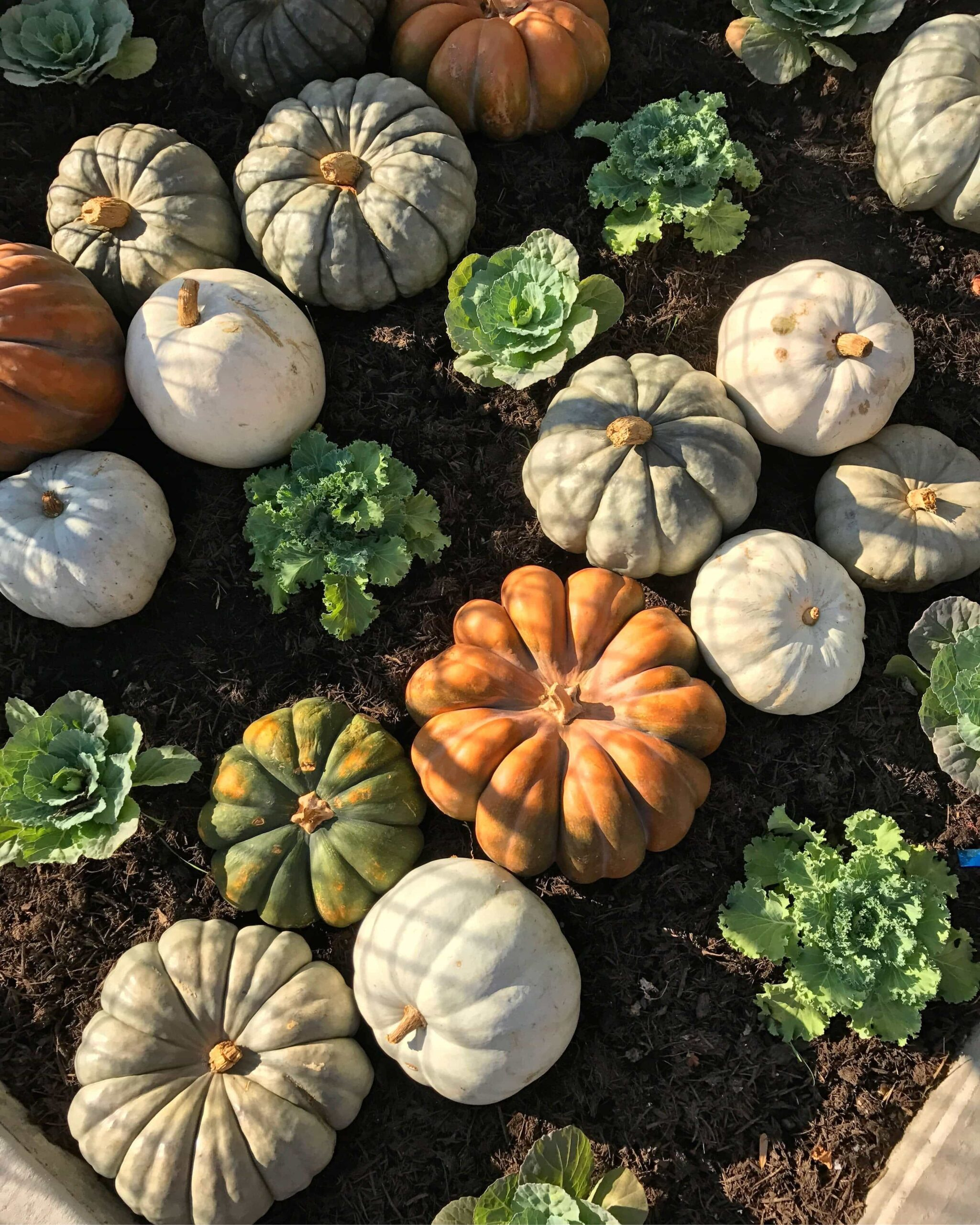 Orange, Green and White Pumpkins in a Garden Bed at Magnolia